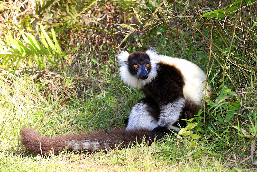 Black-and-white Ruffed Lemur (Varecia variegata), adult sitting on the ground, Madagascar, Africa