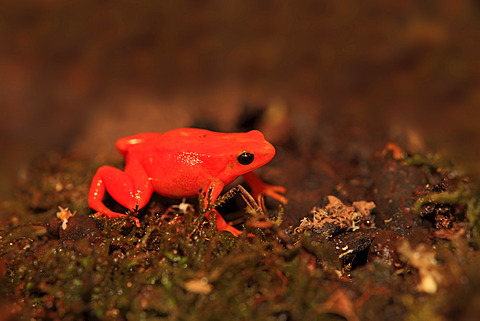 Golden Mantella Frog (Mantella aurantiaca), foraging, Madagascar, Africa