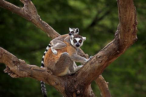Ring-tailed Lemurs (Lemur catta), mother and young in a tree, Madagascar, Africa