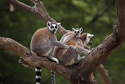 Ring-tailed Lemurs (Lemur catta) with an infant in a tree, Madagascar, Africa - 832-373950