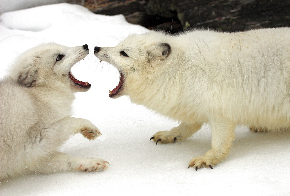 Two Arctic foxes, white foxes, polar foxes or snow foxes (Vulpes lagopus formerly Alopex lagopus), adults fighting, social behaviour, in the snow, Montana, North America, USA