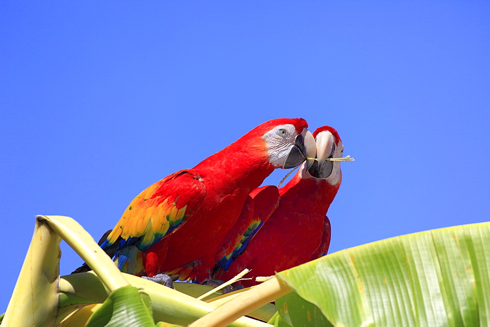 Scarlet Macaws (Ara macao), adult pair perched on a banana tree, passing on a gift, Roatan, Honduras, Caribbean, Central America, Latin America - 832-373983