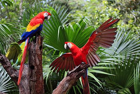 Scarlet Macaw (Ara macao), adult pair, Roatan, Honduras, Caribbean, Central America, Latin America