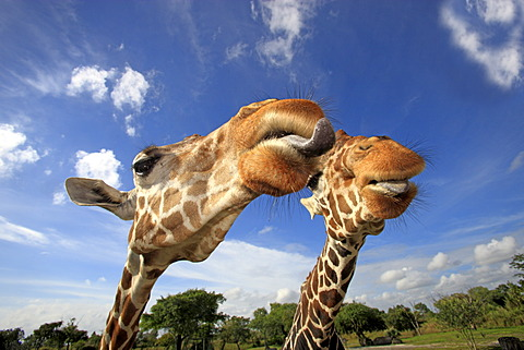 Two Reticulated Giraffes (Giraffa camelopardalis reticulata), adult, portrait, in captivity, Florida, USA