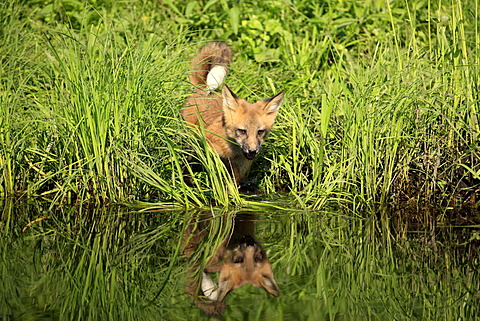 North American Red Fox (Vulpes fulva), cub at the water's edge, Minnesota, USA