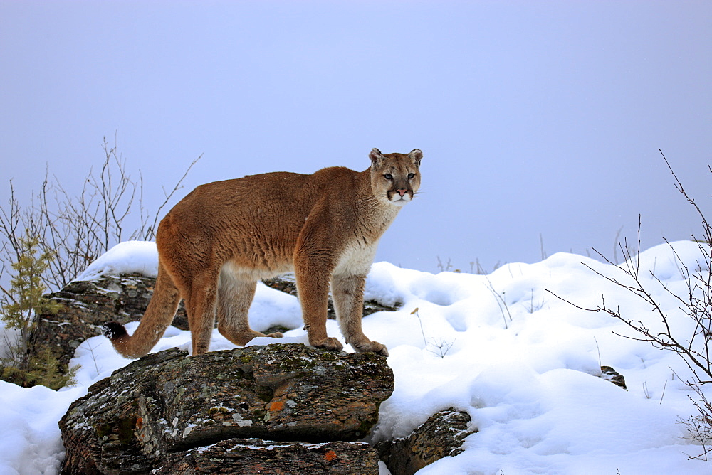 Cougar or Puma (Puma concolor, Felis concolor), adult, searching for food in the snow, Montana, USA