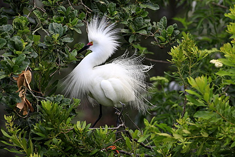 Snowy egret (Egretta thula), adult, on tree, breeding plumage, Florida, USA
