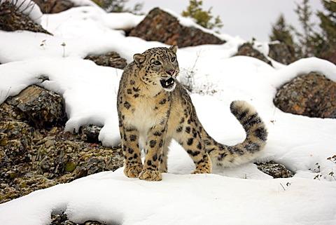 Snow leopard (Uncia uncia), adult, foraging, snow, captive, Montana, USA
