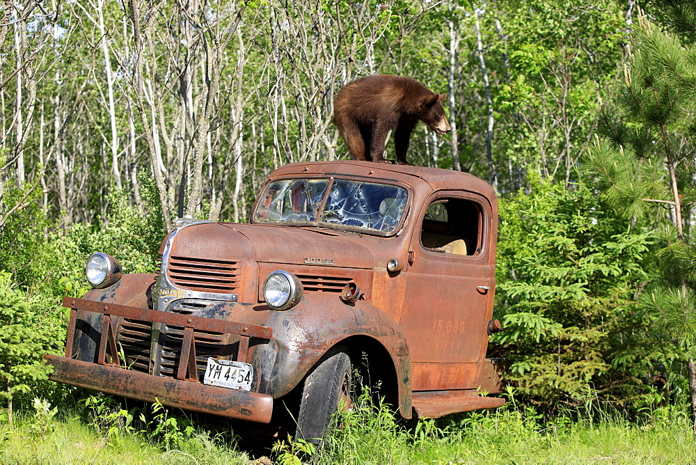 American black bear (Ursus americanus), cub on car roof, car wreck, Minnesota, USA