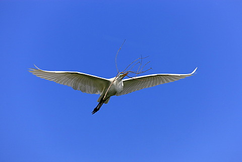 Great egret (Egretta alba), adult, in flight, with nesting material, blue sky, Florida, USA
