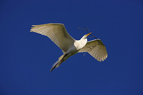 Great Egret (Egretta alba), adult, in flight with nesting material against blue sky, Florida, USA