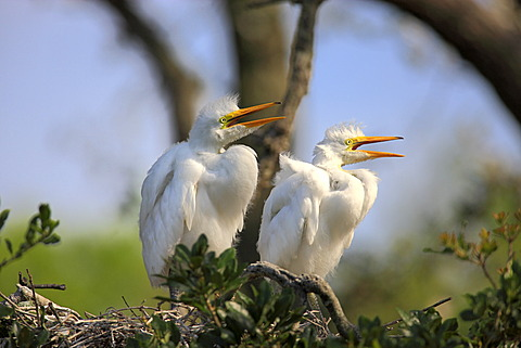 Great Egret (Egretta alba), juvenile birds on the nest, Florida, USA
