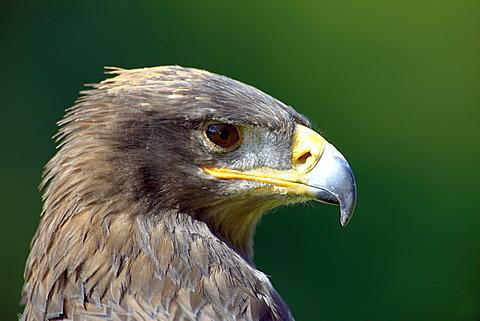 Steppe Eagle (Aquila nipalensis), adult, portrait