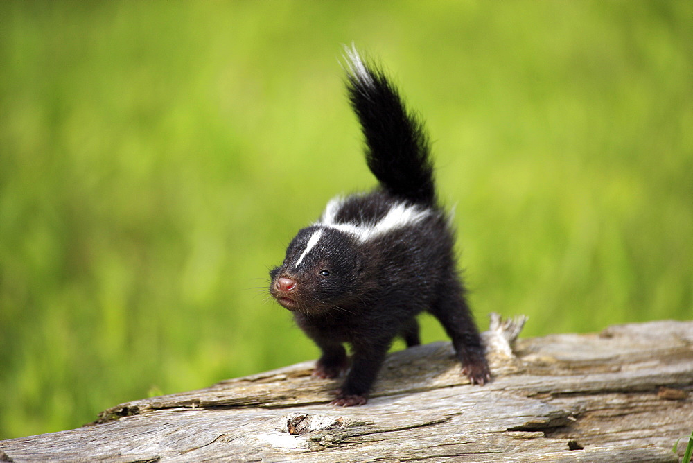 Striped Skunk (Mephitis mephitis), juvenile, one month, on tree trunk, Minnesota, USA