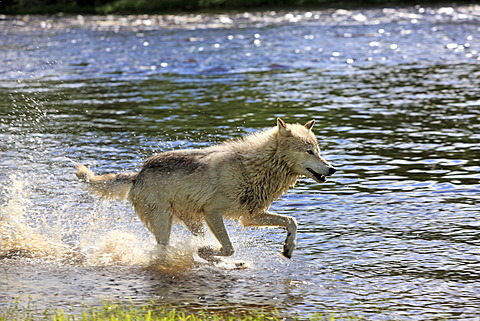 Wolf (Canis lupus), adult, running through water, Minnesota, USA, North America