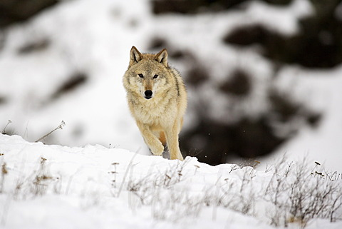 Wolf (Canis lupus), foraging for food, snow, Montana, USA, North America - 832-374063