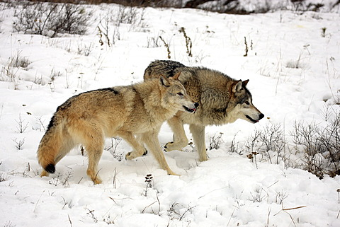 Wolves (Canis lupus), pair, foraging for food, snow, Montana, USA, North America