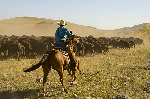 Cowboy pushing herd at Bison Roundup, Custer State Park, Black Hills, South Dakota, USA, America