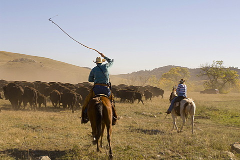 Cowboys pushing herd at Bison Roundup, Custer State Park, Black Hills, South Dakota, USA, America