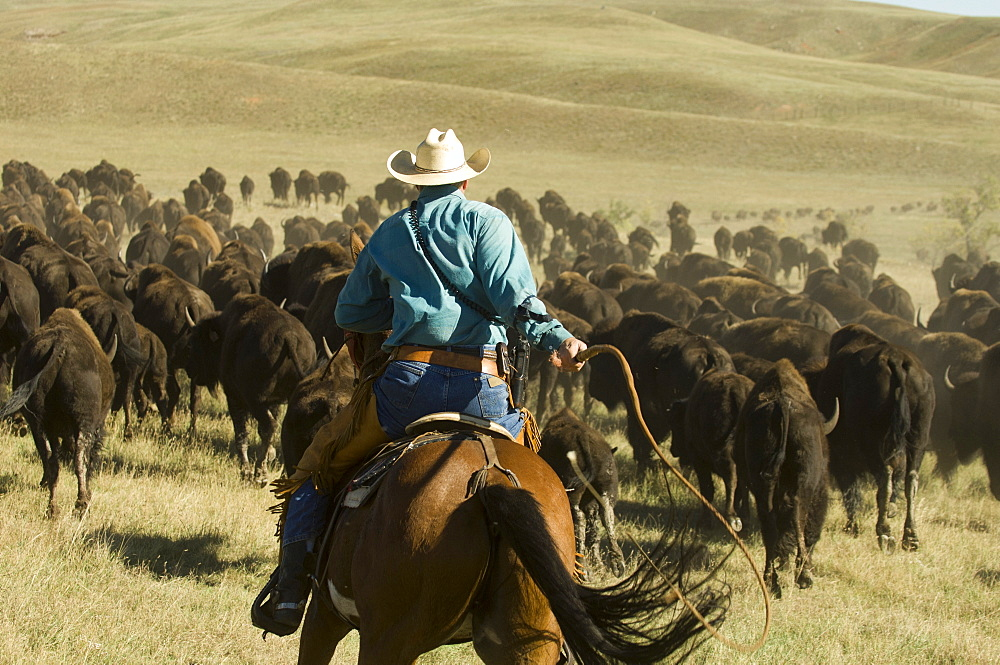 Cowboy at Bison Roundup, Custer State Park, Black Hills, South Dakota, USA, America