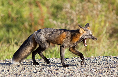Yawning North American red fox (Vulpes vulpes), Yukon Territory, Canada