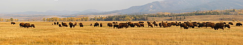 Panoramic view, bison herd, American Bison or American Buffalo (Bison bison), Grand Teton Parkway, Wyoming, USA