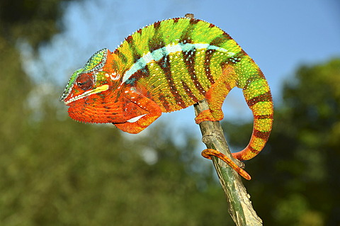 Panther chameleon (Furcifer pardalis) in the northwest of Madagascar, Africa, Indian Ocean