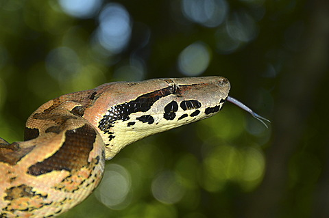 Madagascar Boa (Boa madagascariensis) in the rain forests of Marojejy National Park, Madagascar, Africa, Indian Ocean