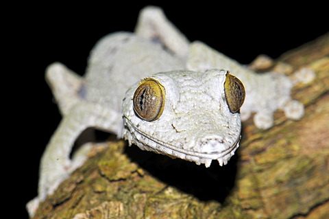 Leaf Tailed gecko (Uroplatus fimbriatus), young in the rainforests of Masoala, Madagascar, Africa, Indian Ocean