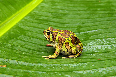 Madagascar frog species (Paradoxophyla palmata), rain forests of Andasibe, Madagascar, Africa, Indian Ocean