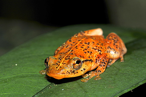 Frog of the species Platypelis in the rain forests of eastern Madagascar, Africa
