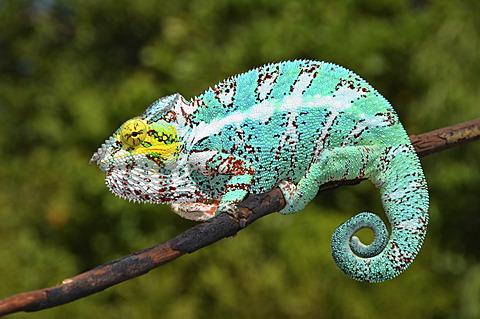 Panther Chameleon (Furcifer pardalis) in northwestern Madagascar, Africa