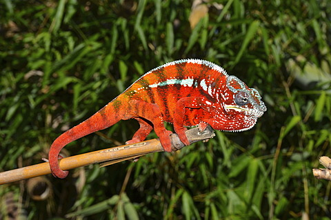 Panther Chameleon (Furcifer pardalis) in the eastern highlands of Madagascar, Africa