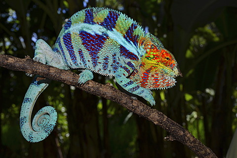 Panther Chameleon (Furcifer pardalis) in the cocoa plantations of Ambanja in northwestern Madagascar, Africa
