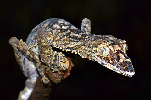 Leaf-tailed Gecko (Uroplatus gigantaeus), in the forests of Montagne de Ambre, Madagascar, Africa
