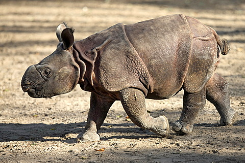 Indian Rhinoceros (Rhinoceros unicornis), 3-week-old young animal, captive