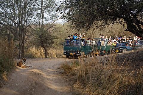 Bengal tiger or Royal Bengal tiger (Panthera tigris tigris) being observed by tourists, India, Asia - 832-374357