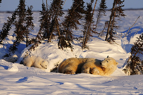 Polar bear sow (Ursus maritimus) with cubs enjoying the evening sun, lying behind a row of trees sheltered from the wind, Wapusk National Park, Manitoba, Canada
