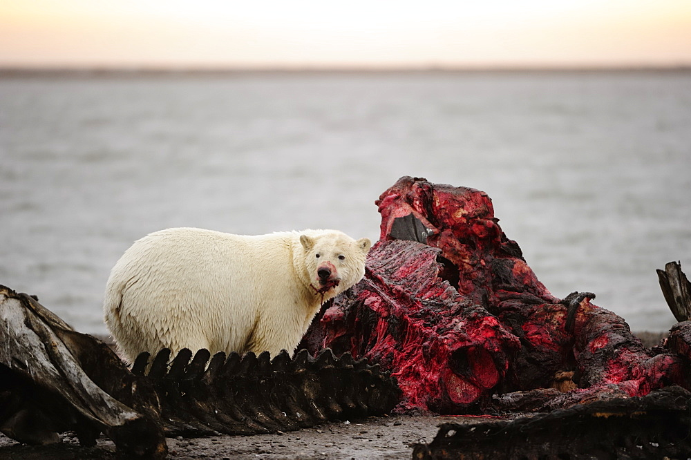 Polar bear (Ursus maritimus) feeding on the remains of a whale, Kaktovik, North Slope, Beaufort Sea, Alaska, USA, America