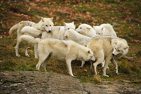 A pack of Polar Wolves, White Wolves or Arctic Wolves (Canis lupus arctos) playing together, Parc Omega, Montebello, Quebec, Canada