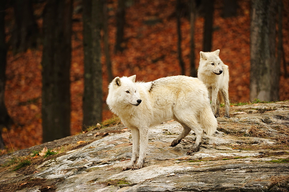 Polar Wolves, White Wolves or Arctic Wolves (Canis lupus arctos) looking into the distance, Canada