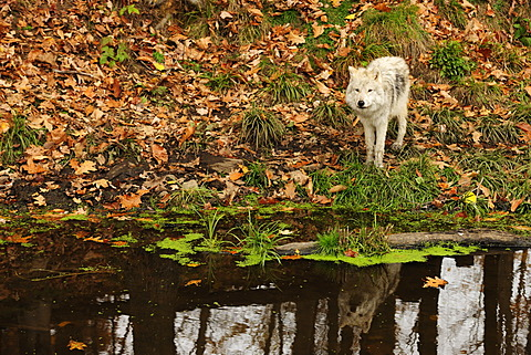 Polar Wolf, White Wolf or Arctic Wolf (Canis lupus arctos) at a pond, reflected in the water, Canada