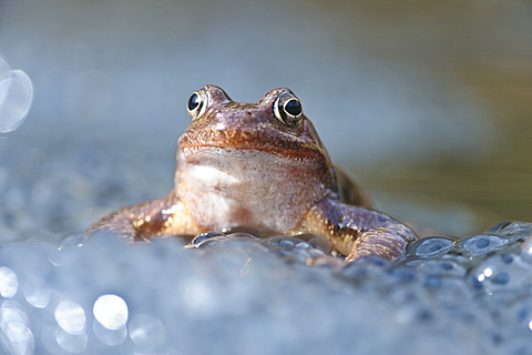 Common frog (Rana temporaria), spawn, Kalkalpen, Limestone Alps National Park, Upper Austria, Austria, Europe