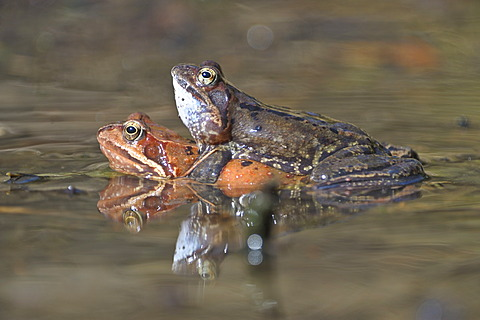 Common frogs (Rana temporaria), mating, Kalkalpen, Limestone Alps National Park, Upper Austria, Austria, Europe