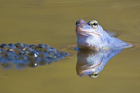 Moor frog (Rana arvalis), spawn, Kalkalpen National Park, Limestone Alps, Upper Austria, Europe