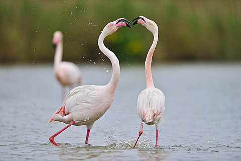 Greater Flamingos (Phoenicopterus ruber), Camargue, France, Europe