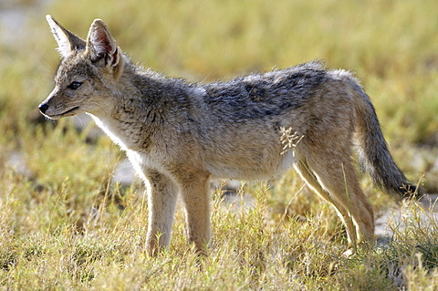 Juvenile Black-backed Jackal (Canis mesomelas) watching somthing in the grass, Ndutu, Ngorongoro, Tanzania, Africa