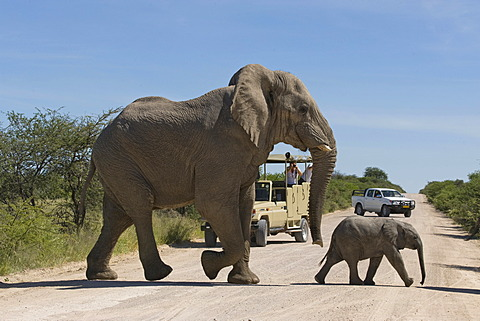 Elephants (Loxodonta africana), bull and young crossing the road in front of tourists on a game drive, Etosha National Park, Namibia, Africa
