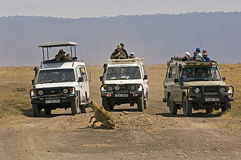 Tourists in SUVs observing an individual Spotted Hyena (Crocuta crocuta), Ngorongoro Crater, Tanzania, Africa