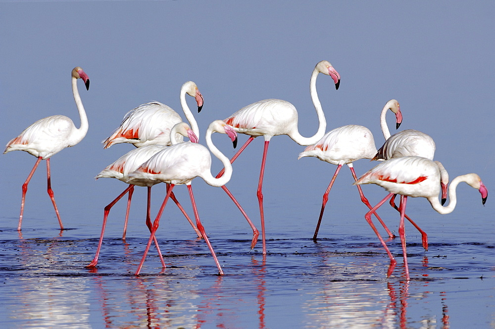Greater Flamingos (Phoenicopterus roseus), Lake Ndutu, Ngorongoro Crater, UNESCO World Heritage Site, Tanzania, Africa